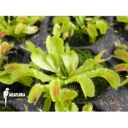 Dionaea muscipula 'Korrigans' Starter