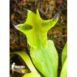 Dionaea muscipula Kubus trap