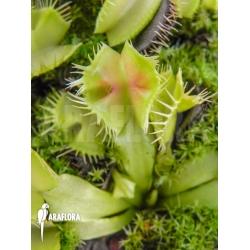 Dionaea muscipula Kubus trap Starter