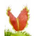 Venus flytrap Dionaea muscipula 'Kuga'