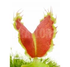 Flytrap (Venus flytrap)