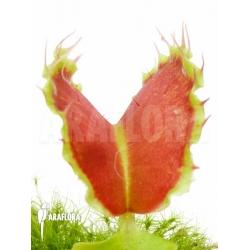 Dionaea muscipula Kuga