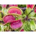 Venus flytrap 'Dionaea muscipula 'Long petiolate''
