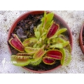 Venus flytrap Dionaea muscipula 'Louchapates'