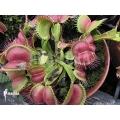Venus flytrap 'Dionaea muscipula 'Love bite'