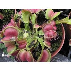 Dionaea muscipula 'Love bite'
