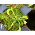 Venus flytrap 'Dionaea muscipula 'Mars' starter'