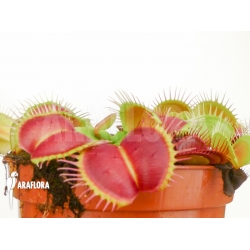 Dionaea muscipula Monkey King