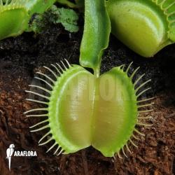 Dionaea muscipula 'Moon trap'