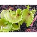 Venus flytrap 'Dionaea muscipula 'Nicky''