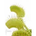 Venus flytrap 'Dionaea muscipula 'No Meat''