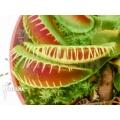 Venus flytrap Dionaea muscipula 'No Smiley'