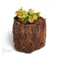 Venus flytrap 'Dionaea muscipula 'No dentist'