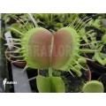 Venus flytrap 'Dionaea muscipula 'Opus delight'