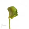 Venus flytrap 'Dionaea muscipula 'Pacman'