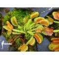 Venus flytrap 'Dionaea muscipula 'Pacman' starter
