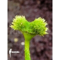 Venus flytrap Dionaea muscipula 'Pincushion'