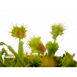 Dionaea muscipula 'Pincushion' 'XL'
