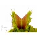 Venus flytrap Dionaea muscipula 'Pluto'