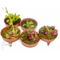 Venus flytrap Dionaea muscipula 'Rare Starter Package 5'