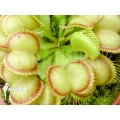 Venus flytrap Dionaea muscipula 'Red Flame'