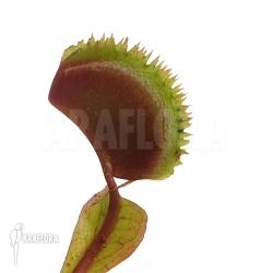 Dionaea muscipula 'Red piranha'