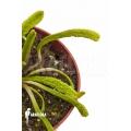 Venus flytrap Dionaea muscipula 'Schuppenstiel Thomas'