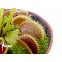 Dionaea muscipula 'Shark teeth'