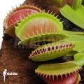 Venus flytrap 'Dionaea muscipula 'Short teeth'