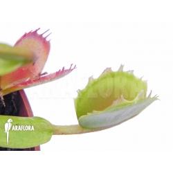 Dionaea muscipula 'Small Staps'