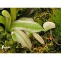 Venus flytrap 'Dionaea muscipula 'Snowman'
