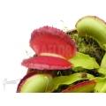 Venus flytrap 'Dionaea muscipula 'Space'