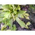 Venus flytrap 'Dionaea muscipula 'Spaghetti''