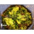 Venus flytrap 'Dionaea muscipula 'Spiderman'