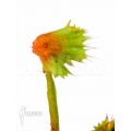 Venus flytrap Dionaea muscipula 'Spiky'