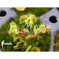 Venus flytrap Dionaea muscipula 'Splash' 'Starter'
