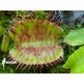 Venus flytrap 'Dionaea muscipula 'Spotify''