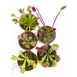 Dionaea muscipula 'Starter 5 Package'