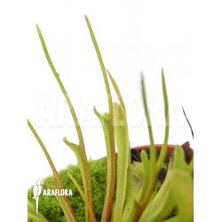 Dionaea muscipula 'Stingray'