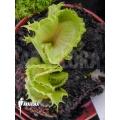 Venus flytrap 'Dionaea muscipula 'Stricker''