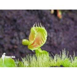 Dionaea muscipula Talking