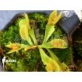 Venus flytrap 'Dionaea muscipula 'Tremor' starter'