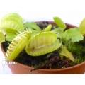 Venus flytrap Dionaea muscipula 'Triton'