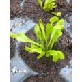 Venus flytrap Dionaea muscipula 'Triton' 'Starter'