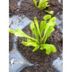 Dionaea muscipula 'Triton Starter'