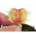 Venus flytrap 'Dionaea muscipula 'Trump''