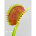 Venus flytrap 'Dionaea muscipula 'Uk sawtooth i'