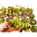 Venus flytrap Dionaea muscipula 'Venusflytrap 20 Starter Collection Package'