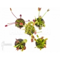 Venus flytrap Dionaea muscipula 'Venusflytrap 5 Collection Package'