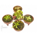 Venus flytrap Dionaea muscipula 'Venusflytrap 5 Rare Trap Collection Package'